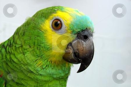 Parrot stock photo, Amazon parrot portrait by Giancarlo Liguori