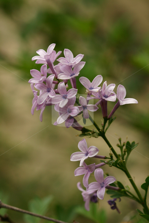 Purple Lilac stock photo, Purple Lilac, Syringa Vulgaris, is  loved by gardeners around the world for its beauty and fragrance; one of the most captivating fragrances emitted by a plant. by Leah-Anne Thompson
