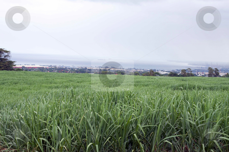 Sugarcane field in Mauritius stock photo, Sugarcane, is any of six to thirty-seven species (depending on taxonomic system) of tall perennial grasses of the genus Saccharum (family Poaceae, tribe Andropogoneae). Native to warm temperate to tropical regions of India and Asia, they have stout, jointed, fibrous stalks that are rich in sugar, and measure two to six meters (six to nineteen feet) tall. All sugar cane species interbreed, and the major commercial cultivars are complex hybrids. by Gowtum Bachoo