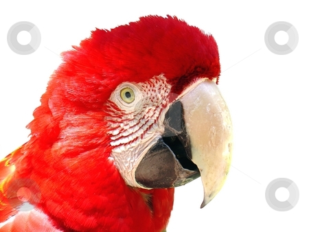 Red macaw stock photo,  by Giancarlo Liguori