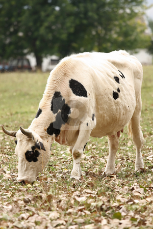 Cow stock photo, The piebald cow is not molest by the photographer by ARPAD RADOCZY