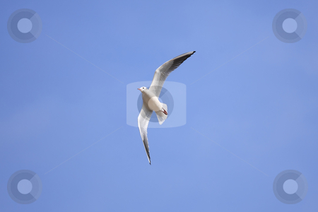 Seagull stock photo, A seagull nice aerial stunt by ARPAD RADOCZY