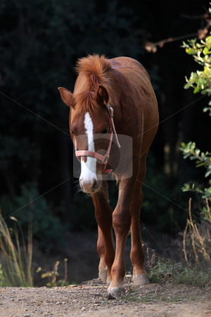 Horse stock photo, A beautiful young bay horse runs in the forest by ARPAD RADOCZY