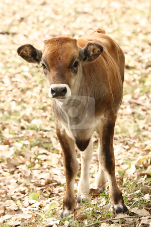 Calf stock photo, A young curious calf looks at the photographer by ARPAD RADOCZY