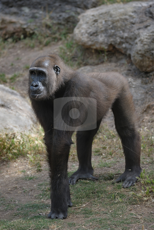 Gorilla stock photo, Gorillas in the zoo, big and important. by Vladimir Blinov