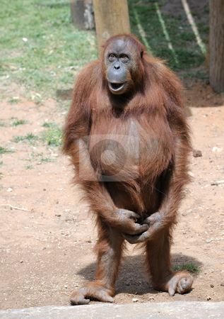 Orangutan  stock photo, Orangutan begging for a treat at the zoo. by Vladimir Blinov