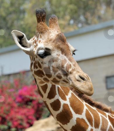 Giraffe. stock photo, Giraffe at the zoo, head close-ups. by Vladimir Blinov