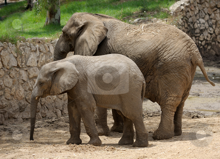 Elephant  stock photo, The largest land animal in the zoo by Vladimir Blinov