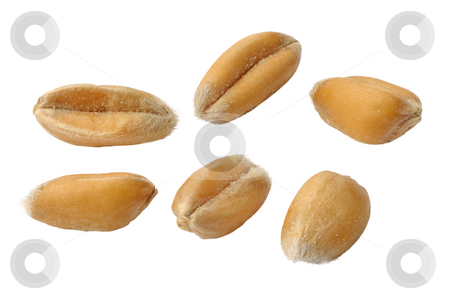 Wheat  stock photo, Seeds of wheat close up on a white background. by Vladimir Blinov