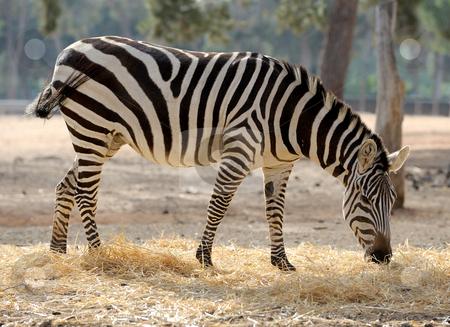 Zebra  stock photo, A strip of black, a strip of white - zebra in a zoo. by Vladimir Blinov