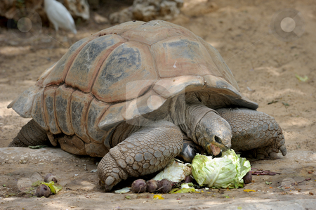 Turtle  stock photo, Gigantskoya turtle at the zoo for a meal by Vladimir Blinov