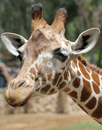 Giraffe. stock photo, Giraffe at the zoo, head close-ups. by Vladimir Blinov