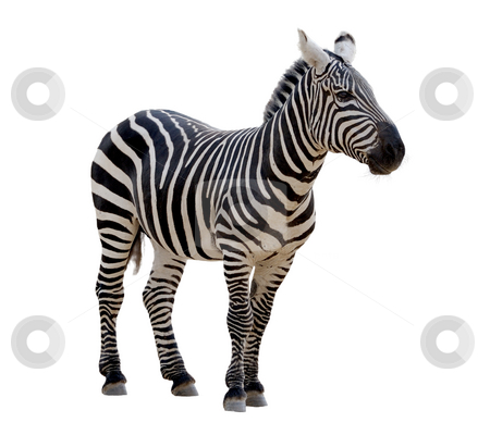 Zebra  stock photo, A strip of black, a strip of white - zebra in a zoo, isolated. by Vladimir Blinov