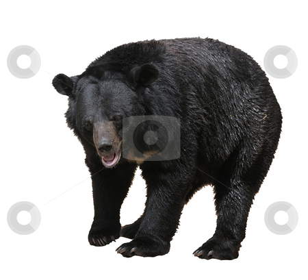 Bear stock photo, Large bear with black fur at the zoo, isolated. by Vladimir Blinov