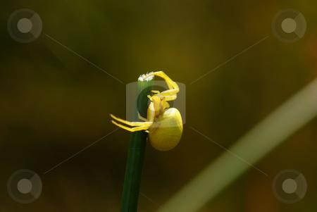 Spider stock photo, Little yellow spider on grass in forest by Jolanta Dabrowska