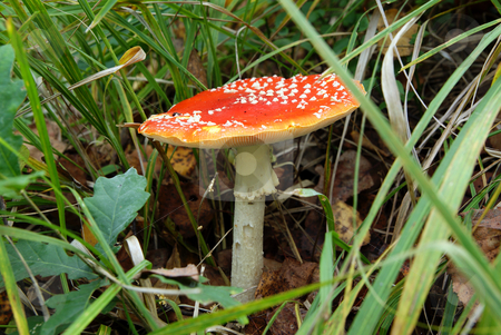 Toadstool stock photo, Red spotted mushroom poisonous in the grass by Jolanta Dabrowska
