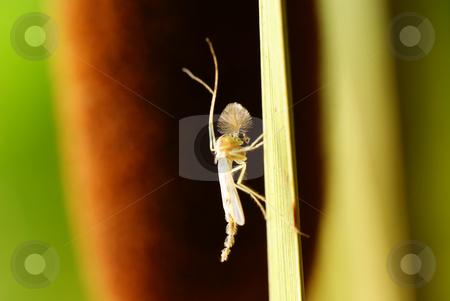 Midge stock photo, Adult midge with feather antenna on brown background by Jolanta Dabrowska