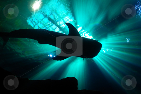 A Whale Shark stock photo, A whale shark in an aquarium, under glowing crepuscular rays. by ALEX CHOW