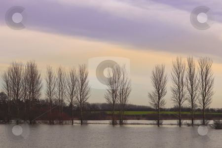 Flooded poplars on a winters evening stock photo, A row of poplaes standing in the winter flood waters of the derwent valley in yorkshire by Mike Smith
