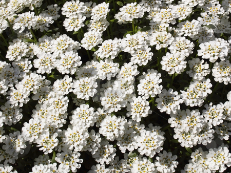 Perennial candytuft flower stock photo, A dense mass of white perennial candytuft flowers iberis perenne by Mike Smith
