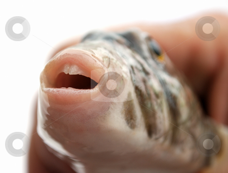 Teeth and lips of fish stock photo, Mouth with a teeth and lips of predatory fish by Nataliya Taratunina