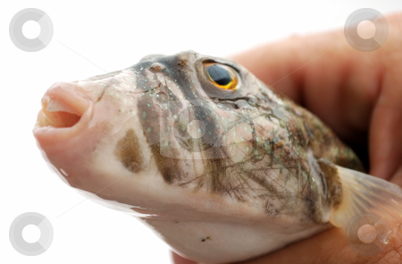 Head of fish stock photo, Head of fresh fish in hand by Nataliya Taratunina
