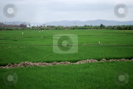 Rice field stock photo, Green rice field by Nataliya Taratunina
