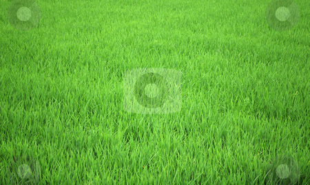 Rice field stock photo, Green rice field by Nataliya Taratunina