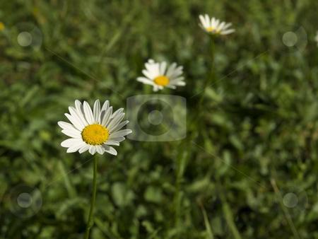 Daisys stock photo, Three daisys on the grass. Focus on the foreground. by Ignacio Gonzalez Prado