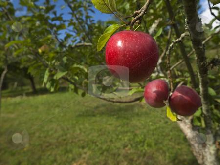 Garden of eden stock photo, Three red apples hanging on the tree. Focus on the foreground. by Ignacio Gonzalez Prado