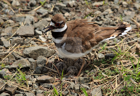 Close-up of Killdeer bird by nest stock photo, Killdeer nest with four eggs in loose gravel by country road by Steven Heap