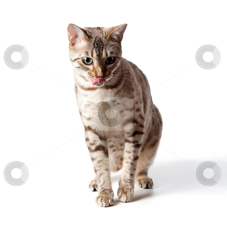 Cream colored bengal tiger cat stock photo, Isolated cream bengal kitten licking its lips in anticipation of a meal by Steven Heap