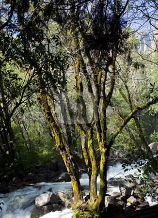 Moss covered tree in Yosemite stock photo, Tree by raging river from Bridal Veil falls in Yosemite valley by Steven Heap