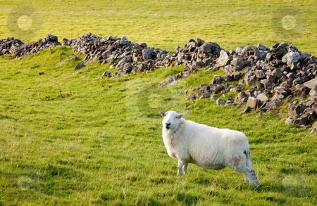 Welsh lamb in verdant meadow stock photo, Close of of welsh hill sheep in meadow by Steven Heap