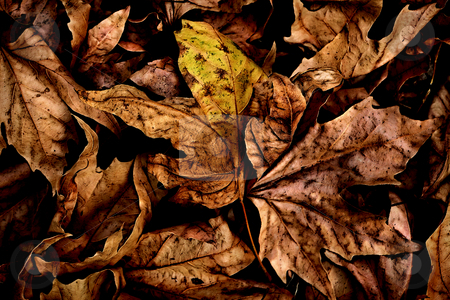 ... a leaf's carpet stock photo, ... out of season dead leaves by emiliano beltrani