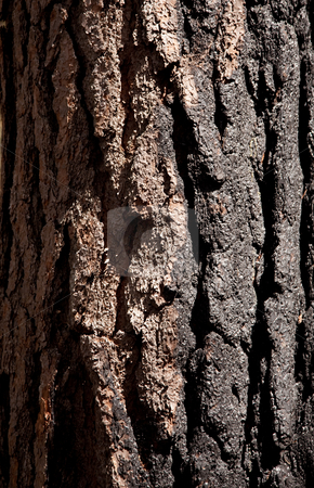 Close up of burnt tree trunk stock photo, Close up of burnt bark on a fir tree after forest fire by Steven Heap