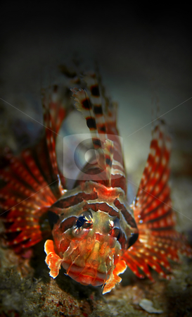 Lionfish stock photo, Common Lionfish at Palong divesite, Phi Phi, Thailand by Kjersti Jorgensen