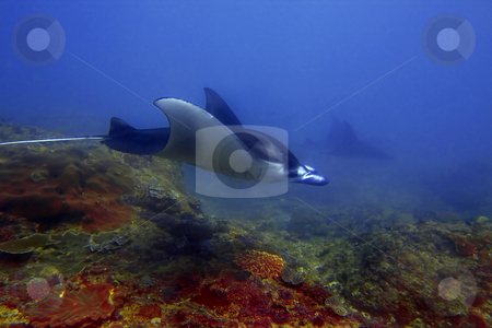 Manta ray  stock photo, Manta ray at Manta Point divesite, Bali, Indonesia by Kjersti Jorgensen