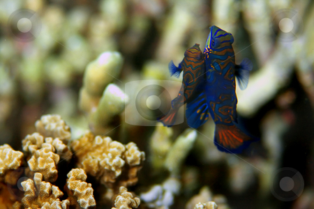 Mandarin fish  stock photo, Mandarin fish at Malapascua, Philippines by Kjersti Jorgensen