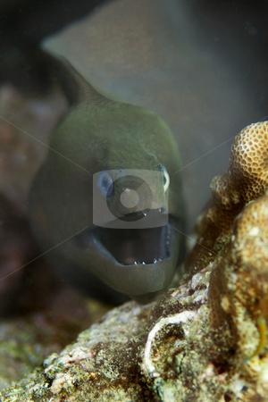 Giant moray eel  stock photo, A giant moray eel at Bida Nok divesite on Phi Phi, Thailand by Kjersti Jorgensen