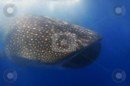 Whaleshark stock photo, Whaleshark at Donsol, Philippines by Kjersti Jorgensen