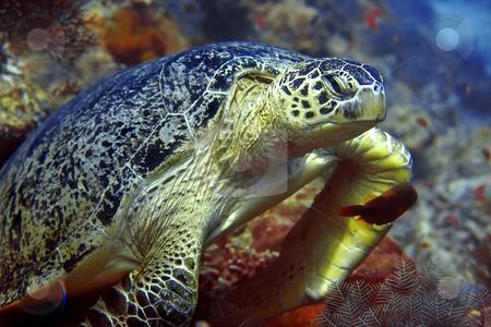 Green turtle  stock photo, A green turtle at Sipadan, Borneo, Malaysia by Kjersti Jorgensen