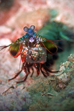 Peacock mantis shrimp  stock photo, Peacock mantis shrimp at Palong divesite on Phi Phi, Thailand by Kjersti Jorgensen