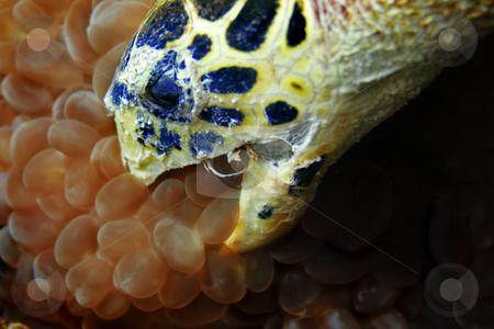 Hawksbill turtle stock photo, Hawksbill turtle at Phi Phi, Thailand by Kjersti Jorgensen