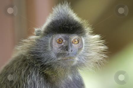 Silver leaf monkey  stock photo, A silver leaf monkey in the mangrove, Kota Kinabalu by Kjersti Jorgensen