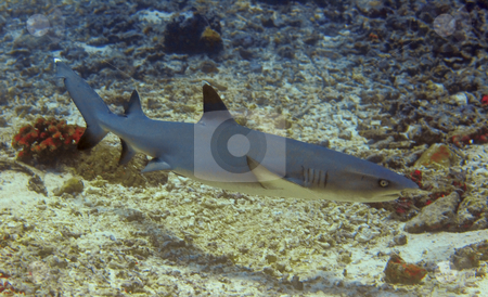 Whitetip reef shark  stock photo, Whitetip reef shark at Sipadan, Borneo, Malaysia by Kjersti Jorgensen