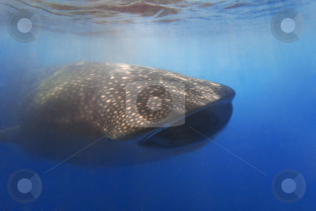 Whaleshark stock photo, Whaleshark at Donsol, Philippines by Kjersti Jorgensen