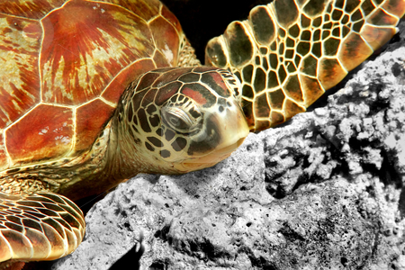 Green turtle  stock photo, A green turtle at Sipadan, Borneo, Malaysia by Kjersti Jorgensen