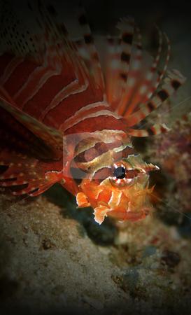 Lionfish stock photo, Common Lionfish at Palong divesite, Phi Phi, Thailand by Kjersti Jorgensen