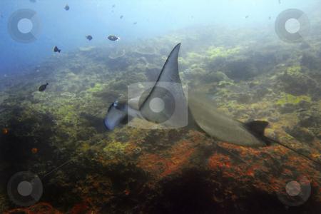 Manta ray  stock photo, Manta ray at Manta Point divesite, Bali, Indonesia by Kjersti Jorgensen